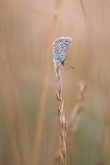 Bläuling (Marcus Hellwig) Tags: bläuling schmetterling lycaenidae abendstimmung