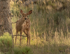 Can you see me? (Sally Harmon Photography) Tags: fawn mule deer bambi brown mountains green colorado forrest trees