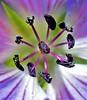 hardy geranium 2 (jenbrasnett) Tags: cmwdpurple purple hardygeranium flower pollengrains stigma stamens