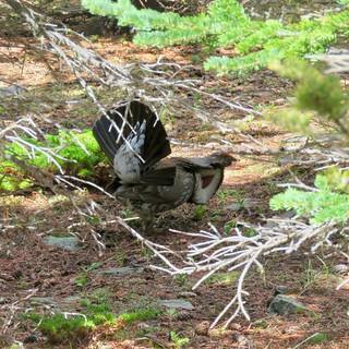365-4-168 Dusky Grouse (Dendragapus obscurus)