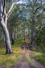 Green Gully Track: Kunderang Trail 2 (NettyA) Tags: australia greengullytrack nsw oxleywildriversnationalpark bushwalk bushwalking day4 hiking trees eucalyptus eucalypts track bushwalkers hikers kunderangtrail forest