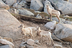 Bighorn Sheep ewes on the rocks
