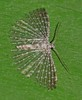 feather wing moth Alucita sp Alucitidae Airlie Beach rainforest  P1350551 (Steve & Alison1) Tags: feather wing moth alucita sp alucitidae airlie beach rainforest