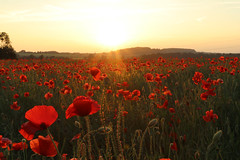 Poppy Field (davva73) Tags: poppies poppy landscape field sunset uk greatbritain midlands canon canoneos countrylife flower wildflower nature