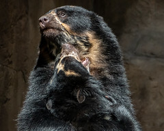 Taken Aback (helenehoffman) Tags: turbo spectacledbear romance alba conservationstatusvulnerable mammal tremarctosornatus sandiegozoo ursidae bear southamerica carnivore andeanbear animal