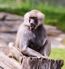 Baboon (JuanJ) Tags: nikon d850 lightroom art bokeh nature lens light landscape white green red black pink sky people portrait location architecture building city iphone iphoneography square squareformat instagramapp shot awesome supershot beauty cute new flickr amazing photo photograph fav favorite favs picture me explore interestingness wedding party family travel friend friends vacation beach baboon zoo northcarolina monkey grey usa april 2018 animal ashboro