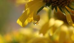 Saveurs d Été (Callie-02) Tags: été yellow bokeh canon macrographie macro extérieur jardin lumière printemps reflets réflexion soleil drop perle goutte plante jaune fleur