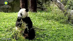 2018_06-21c (gkoo19681) Tags: beibei chubbycubby fuzzywuzzy adorableears morningboo toocute listening curious contentment brighteyed toofers beingadorable meltinghearts precious concentration amazing ccncby nationalzoo