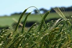 Barley ears. (Les Fisher) Tags: barley ears