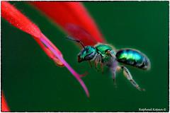 BIF: bee in flight (RKop) Tags: nikkor200f4macro raphaelkopanphotography californiawoodspark ohio macro handheld wildlife