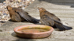 Young Blackbirds (image 1 of 3) (Full Moon Images) Tags: home garden patio wildlife nature baby juvenile blackbird sibling sunbathing