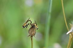 Cópula de sírfidos (esta_ahi) Tags: olèrdola penedès barcelona spain españa испания cópula syrphidae diptera insectos fauna