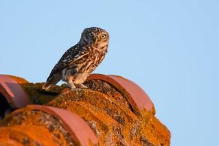 Chevêche d'Athéna - Athene noctua - Little Owl .
