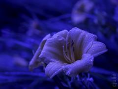 fleur dans la nuit (cjuliecmoi) Tags: fleur macro nature macrophotographie macrophotography