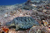 Turtles 2 (Petter Thorden) Tags: diving indonesia gili trawangan underwater turtle