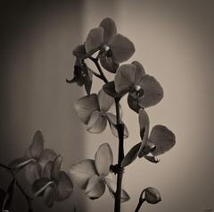 710_8257_ON65z (A. Neto) Tags: sigmadc18250macrohsmos sigma nikond7100 nikon d7100 blackwhite bw monochrome flowers orchid