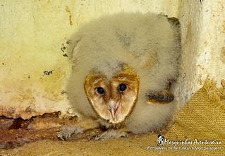 Suindara - Tyto furcata (Temminck, 1827) - American Barn Owl