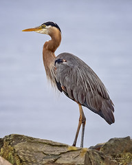Great Blue Heron at Fort Casey State Park & Campground, Coupeville Washington (Hawg Wild Photography) Tags: greatblueheron bird nature wildlife terrygreen ft casey state park fortcaseystatepark coupeville washington hawg wild photography