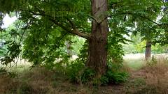 "Pterocarya...""Rehderiana"" Wingnut (standhisround) Tags: trees tree nature leaves london england uk royalbotanicalgardens rbg kewgardens kew gardens garden grass pterocaryarehderiana wingnut hybrid"