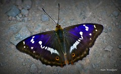 Purple Emperor - Northants (Alan Woodgate) Tags: butterfly scarce purple emperor