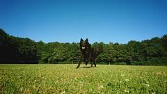 Totoro the new Dutch football star 🐶⚽️ (Jos Mecklenfeld) Tags: totoro dutchshepherd dutchshepherddog hollandseherdershond hollandseherder shepherddog shepherd herder herdershond hond dog sonyxperiaz5 xperia