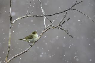 Arctic Warbler in snow.