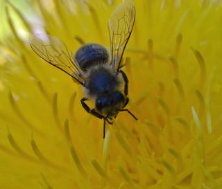 Honey bee on giant knapweed -