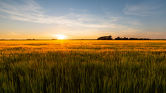 A field of gold (Rob Schop) Tags: f11 wideangle goldenhour zonsondergang landscape sunset sonya6000 texel outdoor samyang12mmf20 nederland goudenuur a6000 hoyaprofilters weedfield graanveld