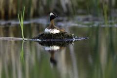 Horned Grebe on a nest (Cherished Light Photography | Rajan Desai) Tags: avian birds birdphotography alaska wildlife nature hornedgrebe grebe