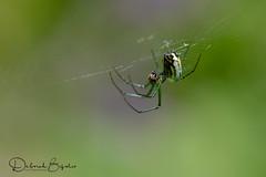 And along came a spider... (dbifulco) Tags: nature arachnid arthropod garden macro newjersey orchardorbweaver spider web wildlife withprey
