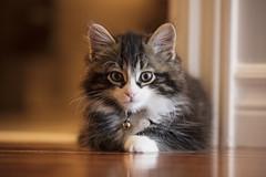 Handsome Boy (flashfix) Tags: july072018 2018inphotos ottawa ontario canada flashfix flashfixphotography canon 70mm200mm kitten feline cat gizmo floor portrait bokeh warm kitty