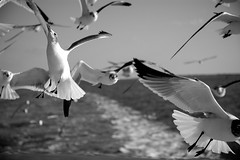 Laridae_Family (rigloc@) Tags: seagulls gulls flying feathers wings