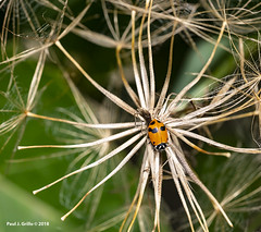 Spider woman? (jackalope22) Tags: lady bug spider flower bud disguise camuoflage