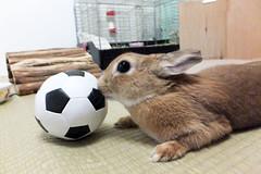 Ichigo san 1226 (Ichigo Miyama) Tags: いちごさん うさぎ ichigo san rabbitbunny cute netherlanddwarf brown ネザーランドドワーフ ペット いちご ぬいぐるみ ぬいどりrabbit bunny ぬいどり サッカー