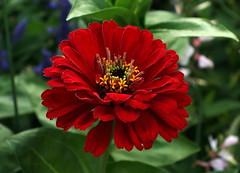 Elegant Zinnia (Wolfgang Bazer) Tags: zinnie elegant zinnia elegans summer flower sommerblume wien vienna österreich austria
