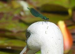 Gebänderte Prachtlibelle - Droad-winged Damselflies - Calopteryx splendens (Sophia-Fatima) Tags: pond gartenteich wassergarten mygarden meingarten naturgarten gardening gebänderteprachtlibelle droadwingeddamselflies calopteryxsplendens prachtlibelle