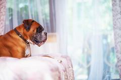 28/52 dreamy sunday (Kerstin Mielke) Tags: boxerdog kurt 52weeksfordogs dream dreamy lazy sunday bedroom light