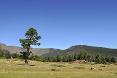 Ancêtre solitaire (balese13) Tags: balese 2013 lesangles pyrénéesorientales arbre pyrénées paysage nature nikon d5000 montagne