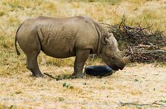 Rhino.jpg (MartinPitchford) Tags: 55300 animals d7000 rhino yorkshirewildlifepark zoo