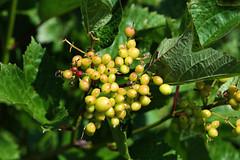 PAS_3582 (peterstratmoen) Tags: wildflowers nature naturebynikon