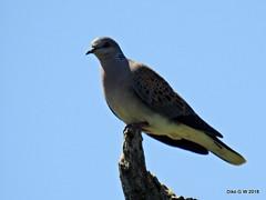 Turtle Dove (Diko G.W.) Tags: harwooddale northyorkshire turtledove nikonp800