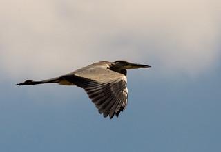 Grey Heron in flight 4