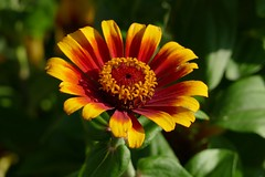 Panasonic FZ1000, Flowers, Botanical Gardens, Montréal, 15 July 2018 (21) (proacguy1) Tags: panasonicfz1000 flowers botanicalgardens montréal 15july2018
