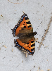 Small Tortoiseshell (queeny63) Tags: elements