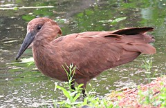 Hamerkop! ('cosmicgirl1960' NEW CANON CAMERA) Tags: birds avian chester zoo conservation nature yabbadabbadoo