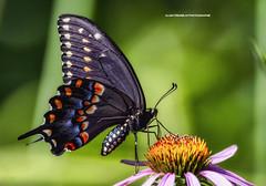 Papillon du céleri ,Papilio polyxenes,black swallowtail, (beluga 7) Tags: papillonducéleri papiliopolyxenes blackswallowtail nature naturewatcher