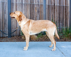 Bernadine side (Guide Dogs for the Blind) Tags: breeder brood