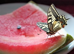 what butterfly eat... (Angelo Petrozza) Tags: butterfly eat farfalla mangiare macro insect lepidoptera machaon papilio angelopetrozza hd35mmmacrolimited