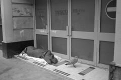 Untitled (the underlord) Tags: voigtlanderbessar4a voigtlander r4a rangefinder rangefindercamera bessa cosinavoigtlander ilford ilfordfp4 200asa film bulkroll 10minutesatstock kodakd76 colorskopar35mmf25 colorskopar 35mmlens voigtlandercolorskopar35mmf25mc gull sleeping