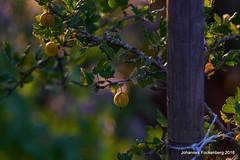 sommerlicher Weihnachtsbaum (grafenhans) Tags: sony alpha 68 a68 alpha68 slt tamron stachelbeere garten abendsonne abendlicht ernte beeren bokeh grafenwald bottrop nrw natur 2870200
